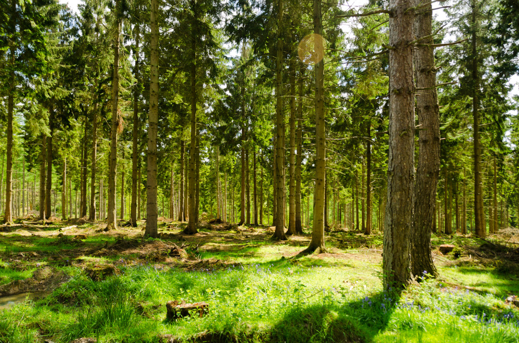 English Summer Forest